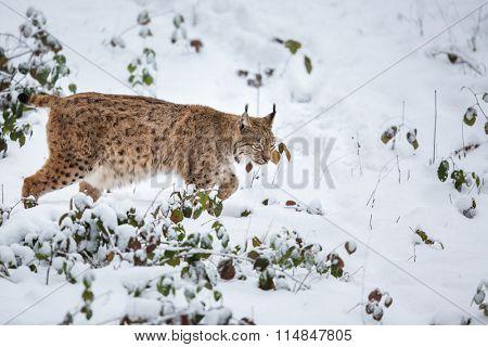Eurasian Lynx (Lynx lynx) walking quietly in snow