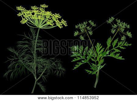 illustration with green dill and celery isolated on black background