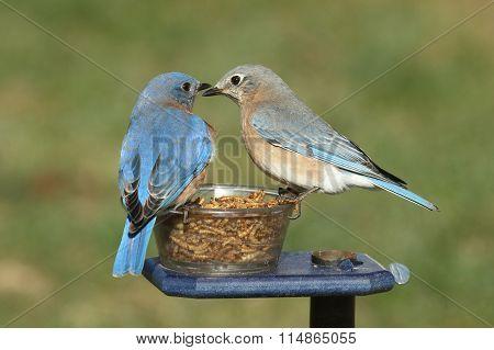 Pair Of Bluebirds On A Feeder