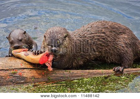 River Otters Feeding On Cutthroat Trout