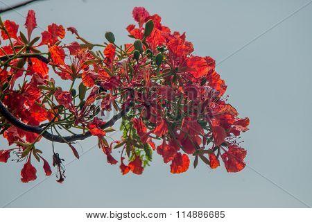 Clove ( Syzygium Aromaticum )