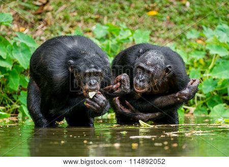 The Chimpanzee Bonobo In The Water. At A Short Distance, Close Up. The Bonobo ( Pan Paniscus), Calle