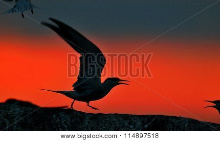 Silhouette Of Common Terns (sterna Hirundo) On Red Sunset Background