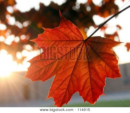 a maple leaf catching the setting sun making it glow red poster