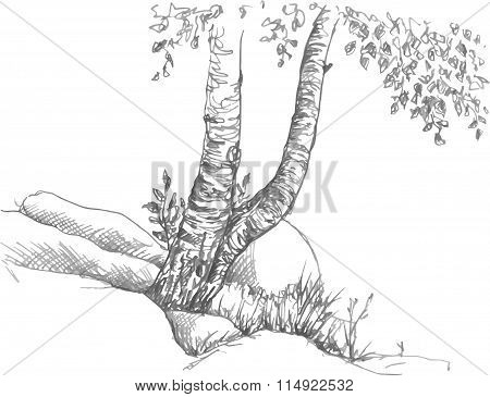 birch trunks and rocks