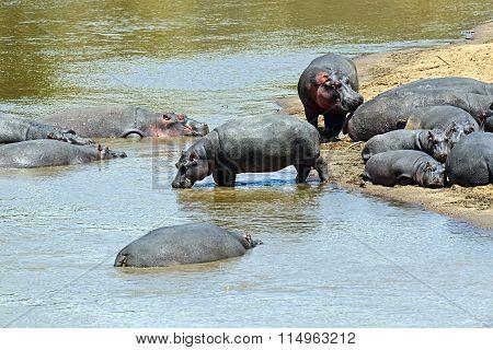Hippopotamus Masai Mara