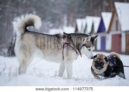 Siberian Husky Sniffs Pug. Walking Dogs In The Winter.