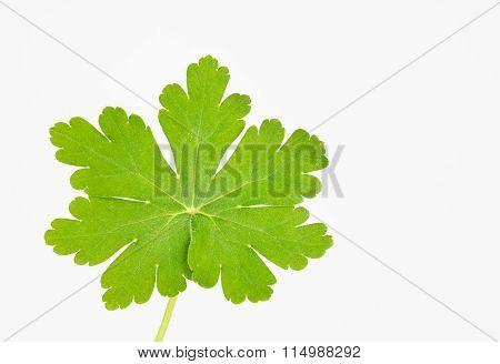 Bright Green Hairy Leaf
