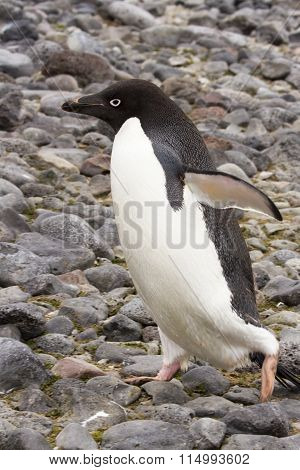Adelie Penguin Walking On Rocks, Paulet Island, Antarctica