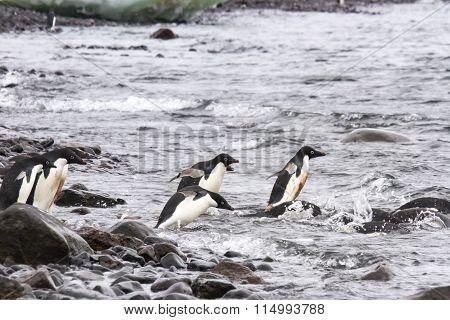 Diving Adelie Penguins, Paulet Island, Antarctica