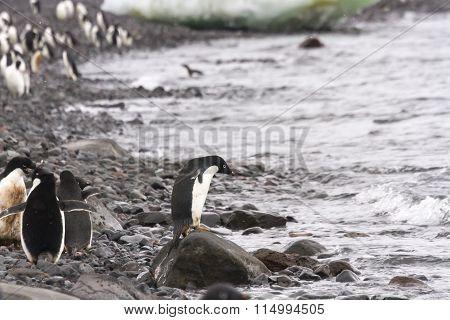 Ready To Swim, Adelie Penguin, Shoreline