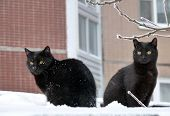 Two black fluffy cat in the snow poster