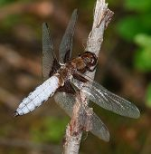 Male Broad-bodied Chaser Libellula depressa dragonfly resting poster