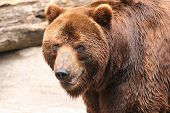 portrait of a brown bear looking at you poster