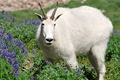 Rocky Mountain Goat grazing in a meadow of lupine and wildflowers on Mt Timpanogos, Utah. poster