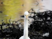 A great egret (Ardea alba) at Vasona Lake County Park in Los Gatos California. poster