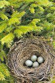 Detail of blackbird eggs in nest - outdoor poster
