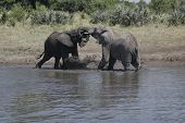elephants engaging in a greeting ritual. this lasts a few minutes and consists of each elephant tugging and pushing the other. this usually occurs when two herds meet. poster