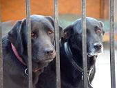 two sad labrador dogs being kept behind bars because they have been bad. poster