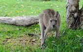 Eastern Grey Kangaroo (Macropus giganteus) Eating Grass poster