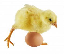 Little yellow chicken