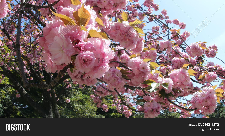 Closeup Cherry Blossom Image Photo Free Trial Bigstock