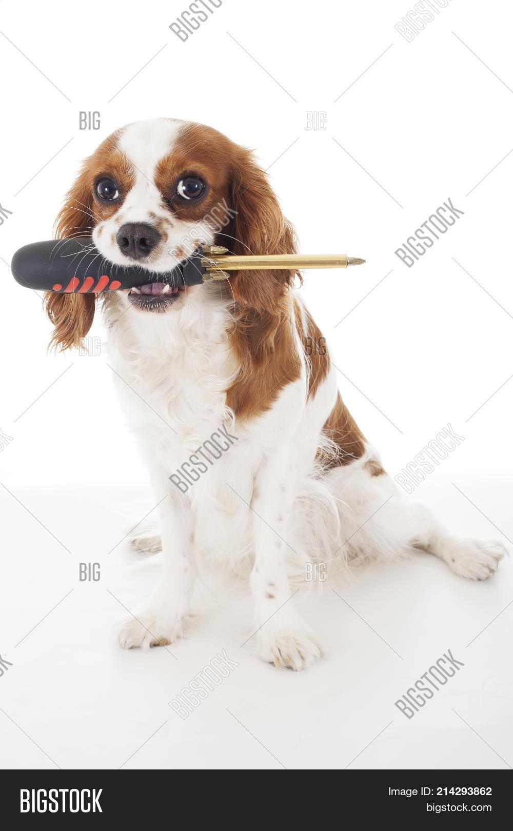 Wonderful Cavalier Canine Adorable Dog - 214293862  You Should Have_562350  .jpg