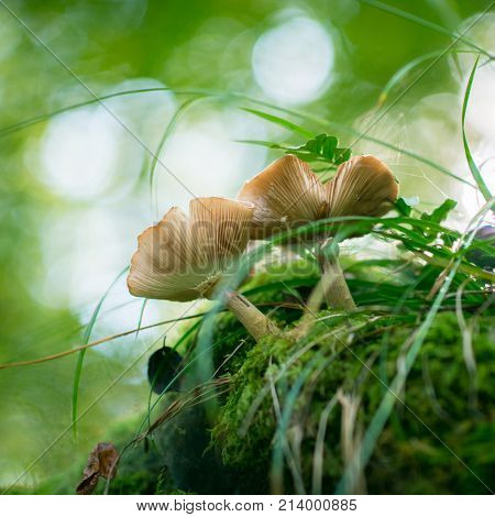 Honey agaric growing in forest. Beautiful forest landscape with mushrooms grow in stump among green moos.