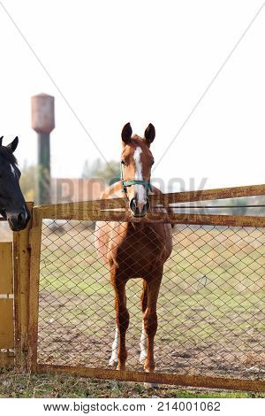 Two beautiful horses, brown and black, stand on the back of the farm fence. Outdoors.