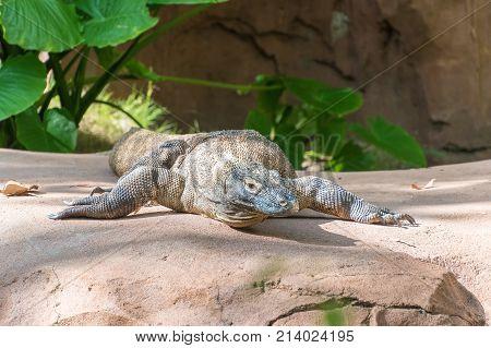 Comodo Dragon On Rock