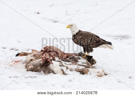 Bald eagle feeding on a deer carcass in the winter snow. Bird was photographed in the wild. It has a serious expression and considerable detail.
