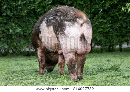 Photo Of A Mighty Male Pig From Behind