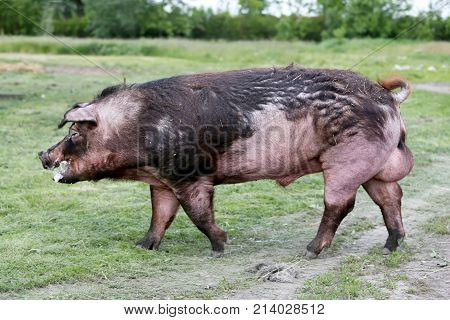 Closeup Of Young Pig On Green Background Atrural Bio Pig Farm