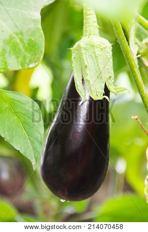 A large beautiful violet vegetable is an eggplant growing on a bush surrounded by green leaves.