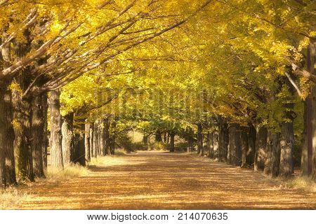 Yellow ginkgo trees in row and yellow ginkgo leaves falling on the ground at showa kinen park, Tokyo, Japan.