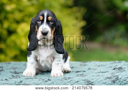 Cute basset hound puppy looking right into the camera set against a natural background