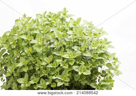 Green oregano plants in front of white background