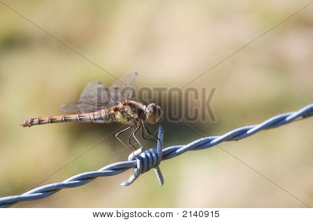 Close shot of a common darter dragonfly (Sumpetrum striolatum) on a barbed wire. Spider silk visible. poster
