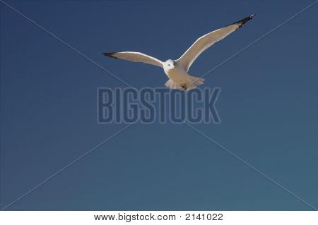Seagull Glider