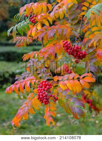 Red ripe rowan dangles from tree branches in autumn in park