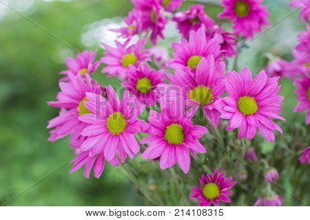 Chrysanthemum flowers with bokeh background in garden