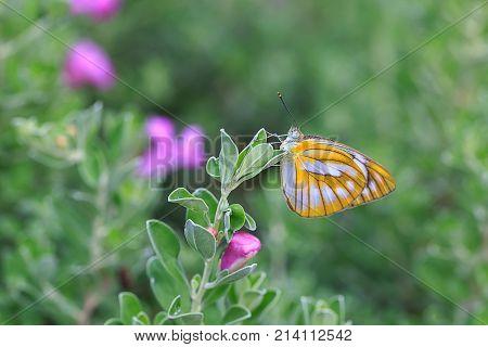 Yellow butterfly on barometer bush flower in the garden