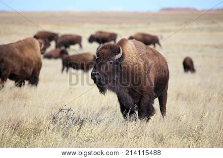 American Bison herd on the Colorado Great Plains