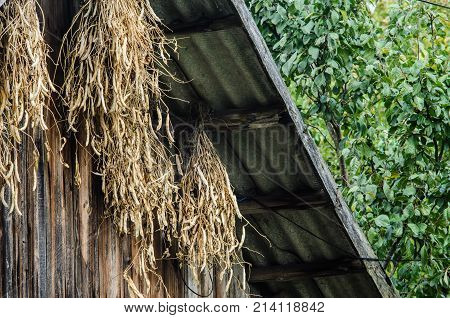Drying Sheaves with Beans on a Wooden Shed Wall