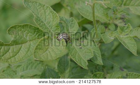 Colorado beetle eats a potato leaves young.