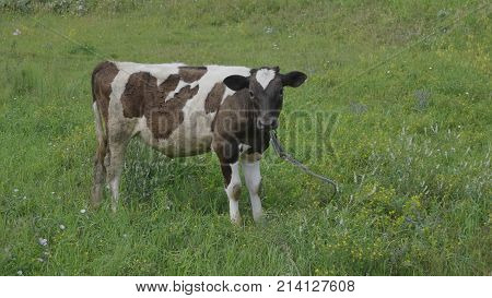 Young bull-calve grazes on the green field.