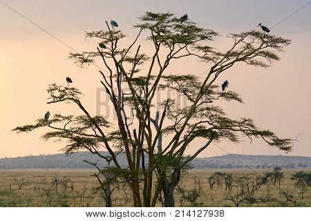 Eagle and Marabu birds in accacia tree in Serengetti ntaional park in Tanzania with sunset sky