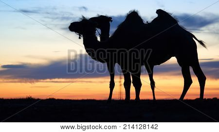 Silhouette of a camel. A camel is an even-toed ungulate in the genus Camelus, bearing distinctive fatty deposits known as