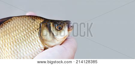 Carassius fish head, scales skin taexture photo. Macro view Crucian carp scaly pattern. Selective focus, shallow depth field. Gray background, copy space.