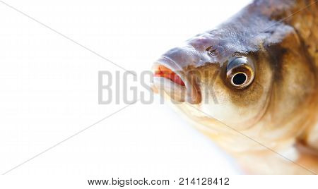 Carassius fish head, scales skin taexture photo. Macro view Crucian carp scaly pattern. Selective focus, shallow depth field. White background, copy space.